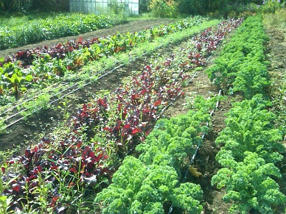 Picture of rows of growing veggies